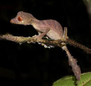 Satanic Leaf Tailed Gecko (Uroplatus phantasticus), Andasibe, Madagascar, by Frank Vassen,  used under CC by 2.0, cropped from original